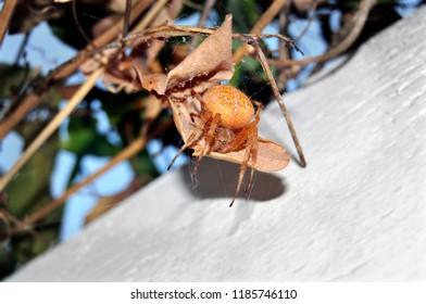 Orange Spider from California