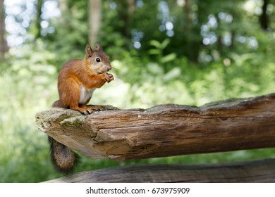 Orange squirrel sits on thick old wood beam