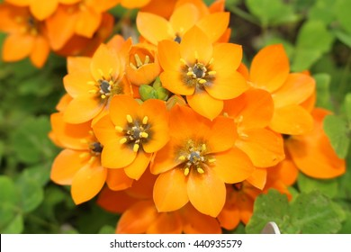 """Orange """"Star of Bethlehem"""" flowers (or Sun Star) in St. Gallen, Switzerland. Its Latin name is Ornithogalum Dubium, native to South Africa."""