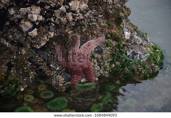 Orange starfish clinging onto rocks on Oregon coast