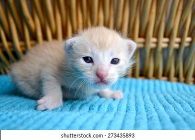 Orange striped tabby kitten, newborn, eyes just opened