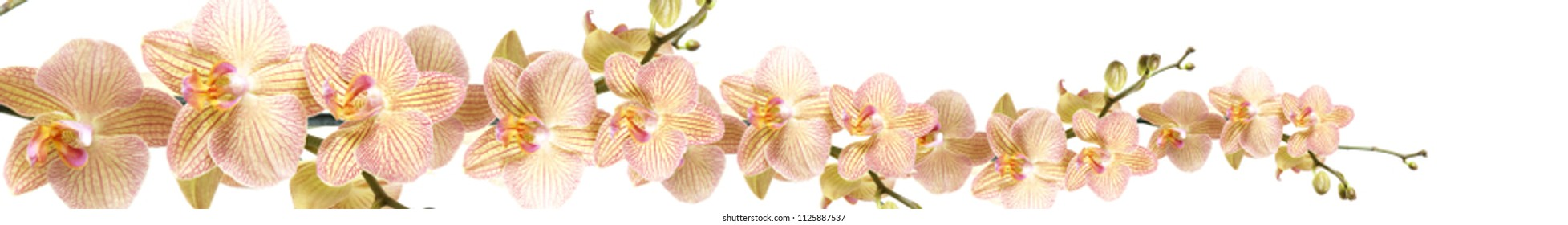 Orange striped tender orchids on a white background.