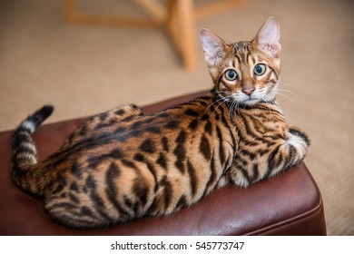 orange striped toyger cat lying on ottoman - kitten with beautiful pattern on back