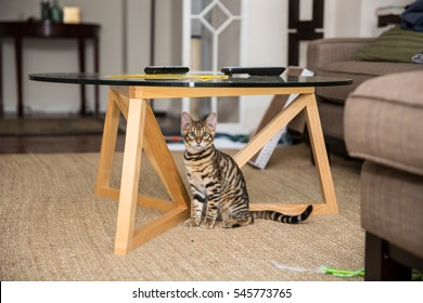 orange striped toyger kitten hiding under living room coffee table - small tiger cat