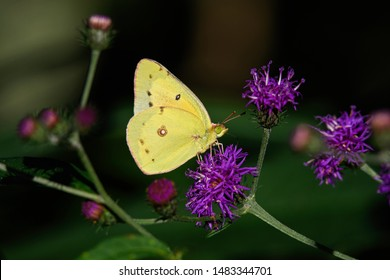 Orange sulfur butterfly or Colias eurytheme on ironweed in bright afternoon sun. Ironweed or vernonia is in the family Asteraceae.