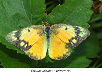 Orange Sulphur Butterfly (Colias eurytheme) at Shabbona Lake State Park in northern Illinois