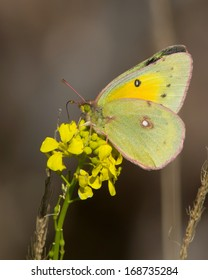 Orange Sulphur butterfly (Colias eurytheme) feeding on mustard flowers during the winter in Bexar County in south Texas.
