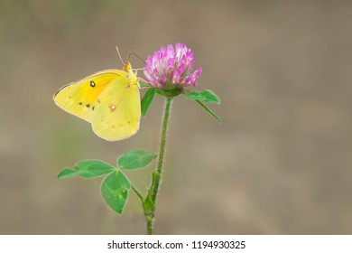Orange Sulphur Butterfly collecting nectar from a purple Red Clover flower. Also known as an Alfalfa Butterfly. High Park, Toronto, Ontario, Canada.