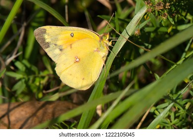 Orange Sulphur Butterfly perched on a blade of grass. Also known as an Alfalfa Butterfly. Rouge National Urban Park, Toronto, Ontario, Canada.