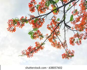 Orange summer flowers,delonix regia flower