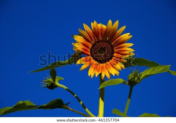 orange sunflower on background of blue sky