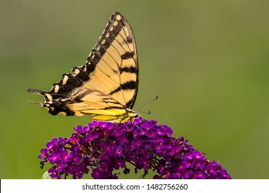 An orange swallowtail butterfly is feeding on purple flowers of a butterfly bush.