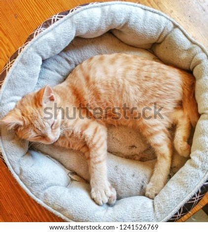 Orange American Bobtail Cat