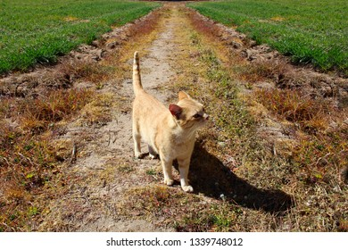 Orange tabby cat on a dirt road between crops a sunny spring day.