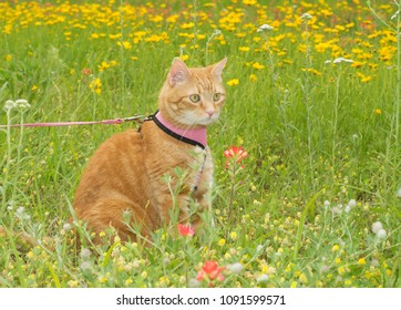 Orange tabby cat on leash, on a sunny spring meadow with wildflowers