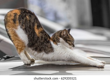 Orange tabby cat stretching out.