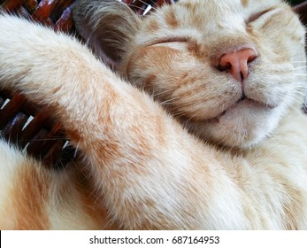 An orange tabby feral cat is sleeping peacefully and blissfully smiling