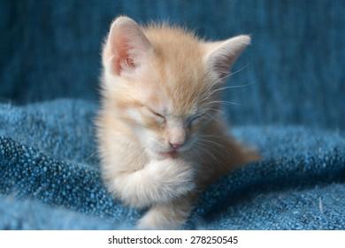 Orange tabby kitten, eyes closed licking paw, soft focus