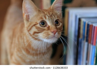 Orange tabby looking up expectantly and inquisitively