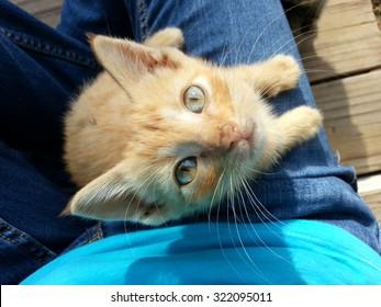 An orange tabby manx kitten.