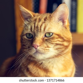 Orange Tabby portrait looking very studious with books in the background