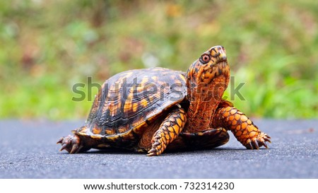 An orange Terrapene carolina carolina (common to the Carolinas) sub species of the Eastern box turtle crossing a wet path at Riverwalk trail, Rock Hill, South Carolina.
