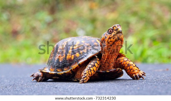 An orange Terrapene carolina carolina (common to the Carolinas) sub species of the Eastern box turtle crossing a wet path at Riverwalk trail, Rock Hill, South Carolina.