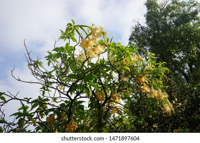 Orange Thorn apple datura flowers with green branches and leaves