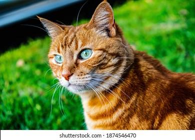 orange tiger cat outdoors closeups