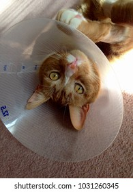 Orange Tiger Cat with protective cone following medical surgical procedure.