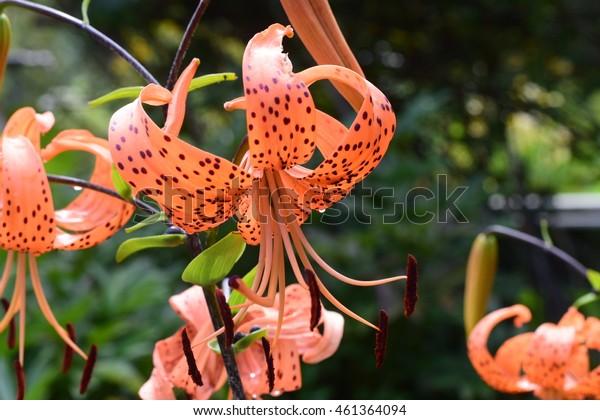 Orange tiger lily flower bush in summer season home flower garden