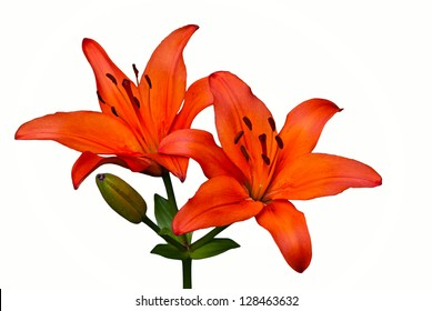 Orange Tiger Lily flower isolated over white