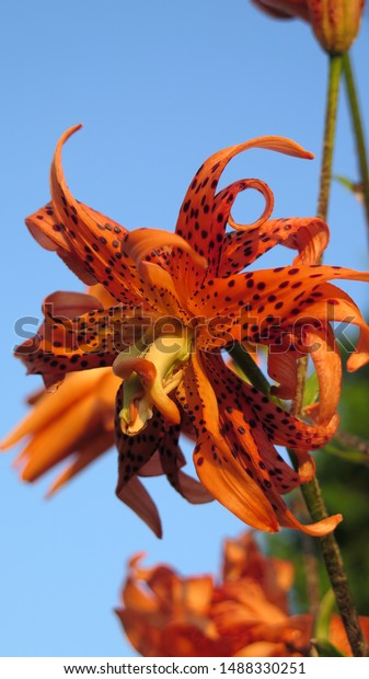 Orange Tiger Lily Garden Stock Photo Edit Now 1488330251