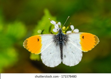 The Orange Tip (Anthocharis cardamines) is a butterfly in the Pieridae family.