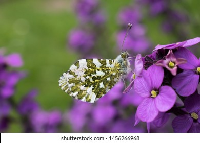 Orange Tip butterfly (Anthocharis cardamines) on purple wallflower (Erysimum).
