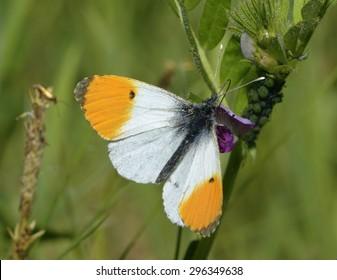 Orange Tip Butterfly Images, Stock Photos & Vectors | Shutterstock