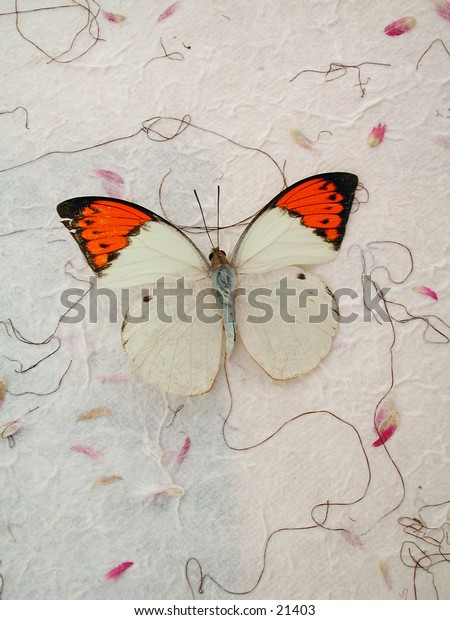 An Orange Tip Butterfly photographed on handmade paper.
