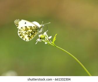 Orange Tip Butterfly sitting on flower