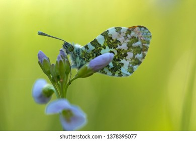 Orange tip is sitting on cuckoo flower in the light of the rising sun, the Netherlands