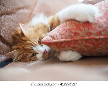 Orange Traditional Doll Face Persian Cat Laying Down Looking Lazy while Hugging Pillow