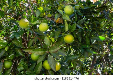 Orange tree in the aisles of the mountain town of Archanes on the island of Crete, Greece