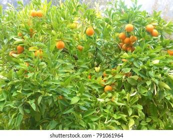 orange tree of Alhambra palace