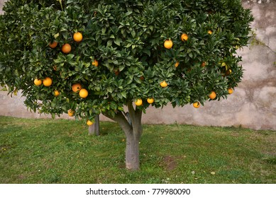 orange tree close up