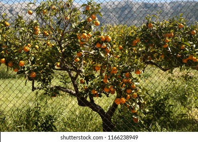 Orange tree in orange farm