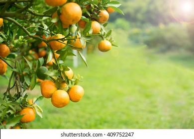 Orange tree in orange farm.