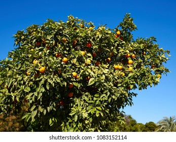 Orange tree in a farm with clear blue ski in the background
