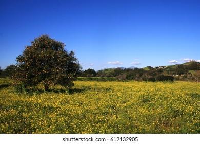 Orange tree in a field of yellow flowers, California