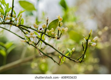 Orange tree flower buds and leaves background.