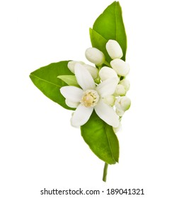 Orange tree flowers on a branch isolated on white background