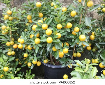 Orange tree with orange fruit in flower pot for home and garden decoration, ornamental plant farm, ripe orange on the tree